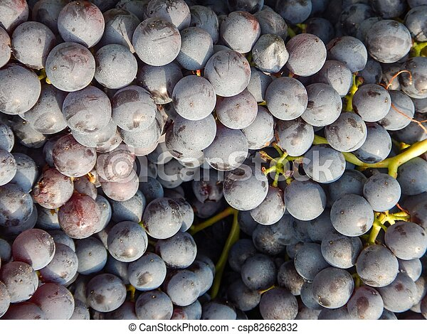 Clusters of Nebbiolo grapes in the Langhe, Piedmont - Italy - csp82662832