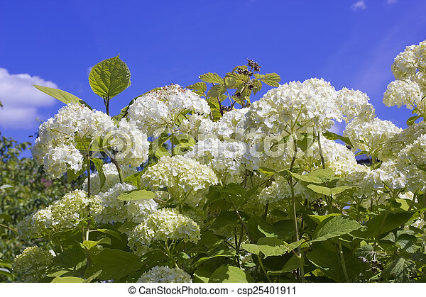 Clusters of white flowers magnificent clusters of white flowers of clusters of white flowers csp25401911 mightylinksfo