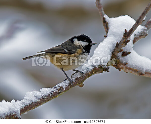 Coal Tit in the snow - csp12397671