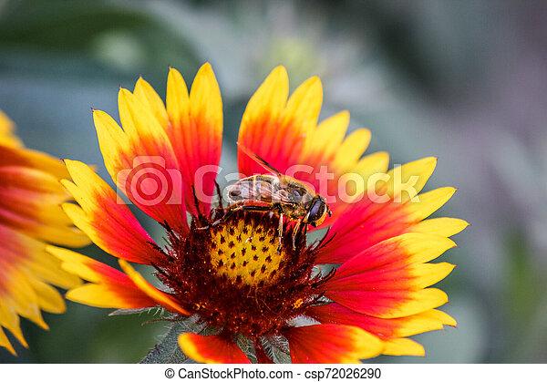 Una abeja de miel está polinizando una flor roja y amarilla. Pollinator. Recolectando néctar. Transferencia de polen permitiendo fertilización y la producción de semillas. Increíble naturaleza - csp72026290