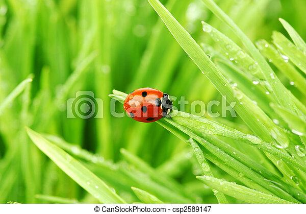 coccinella, erba - csp2589147