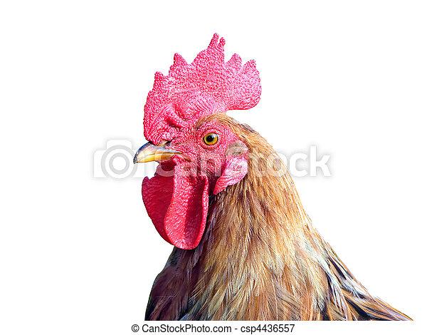 cock - csp4436557