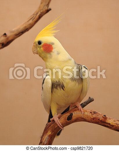 cockatiel, branch - csp9821720