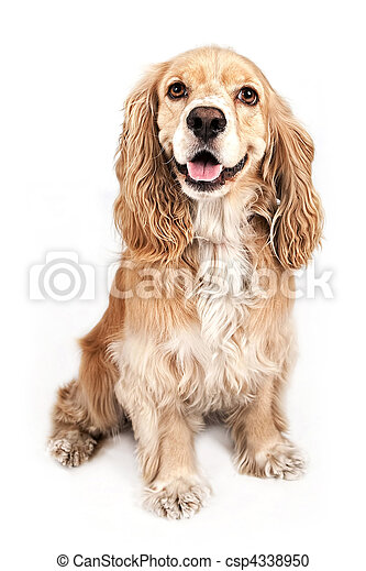 Cocker Spaniel Stock Photo Images 6 503 Cocker Spaniel Royalty Free Images And Photography Available To Buy From Thousands Of Stock Photographers