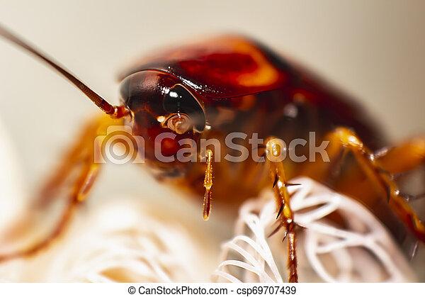 cockroach - csp69707439