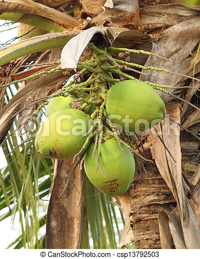 coconut on the tree - csp13792503
