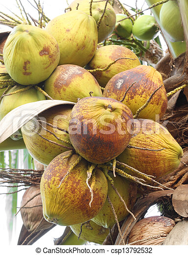 coconut on the tree - csp13792532