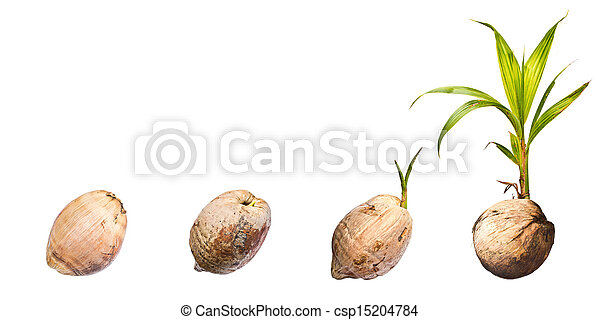 Coconut on white background - csp15204784