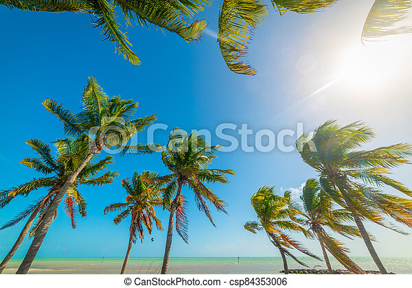 Coconut palm trees in Smathers Beach in Key West - csp84353006