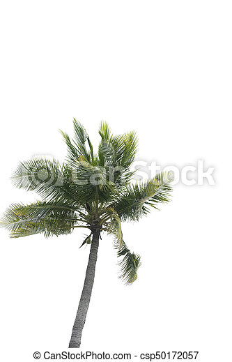 Coconut tree on the white background - csp50172057