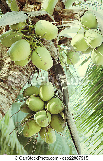 Coconut tree - csp22887315