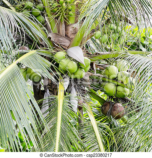 Coconut tree - csp23380217