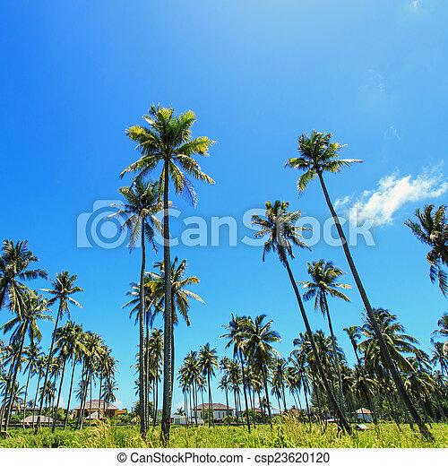 Coconut tree - csp23620120