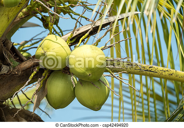 Coconut tree - csp42494920