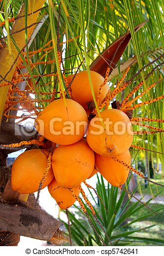 coconuts in palm tree ripe yellow fruit coconuts in palm tree ripe