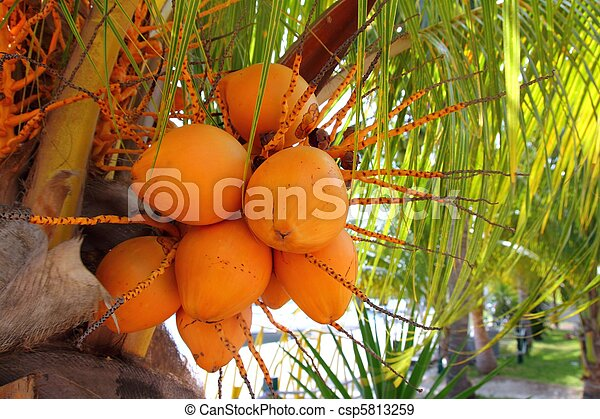 Coconuts in palm tree ripe yellow fruit - csp5813259