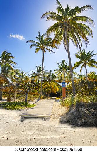 Coconuts on tropical beach path, cuba - csp3061569