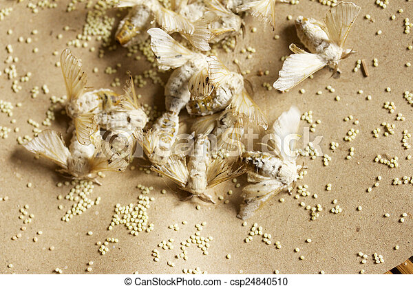 cocoon silkworm - csp24840510