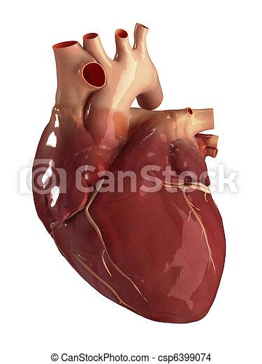 coeur antérieur, isolé, vue - csp6399074