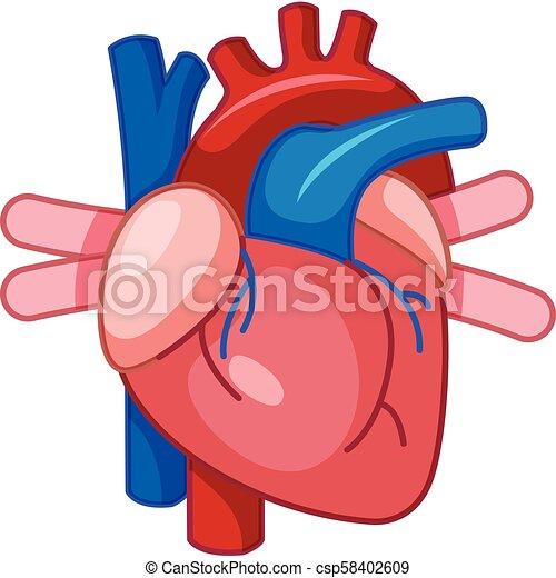 Coeur dessin anim humain coeur humain illustration - Dessin coeur humain ...