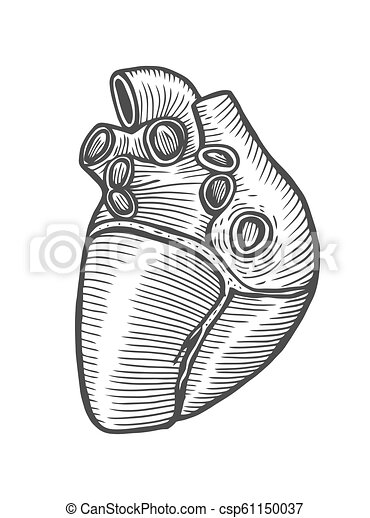 Coeur Humain Anatomique