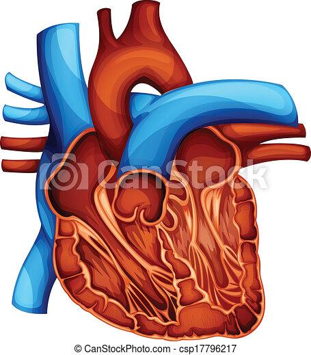 coeur, humain - csp17796217