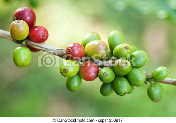 Coffee beans on plant - csp11258917