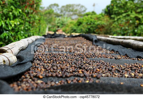 Coffee cherries lying to dry on bamboo raised beds in Boquete, Panama 1/3 - csp45778072