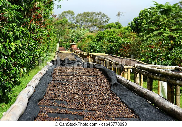 Coffee cherries lying to dry on bamboo raised beds in Boquete, Panama 2/3 - csp45778090