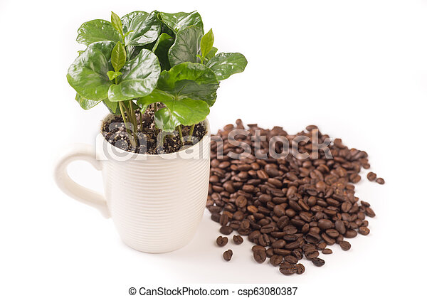 coffee plant and coffeebeans from side, isolated - csp63080387