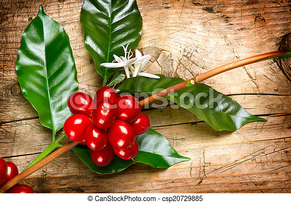 Coffee Plant. Red coffee beans on a branch of coffee tree - csp20729885