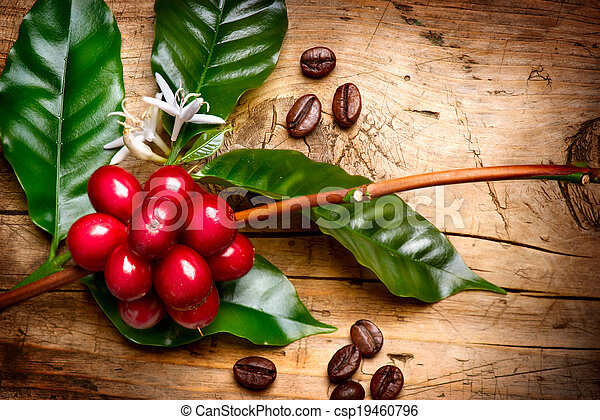 Coffee Plant. Red coffee beans on a branch of coffee tree - csp19460796