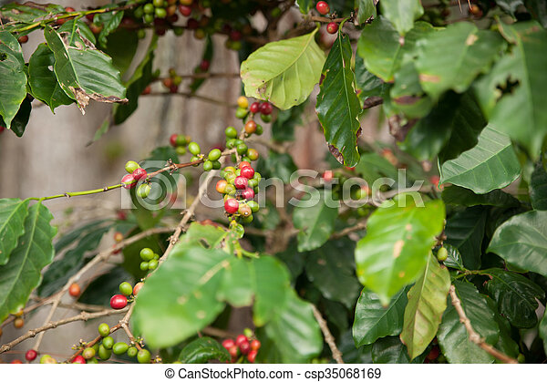 Coffee Plant With Ripe And Green Coffee Beans In Natural
