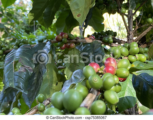 Coffee tree with ripe berries on farm, shallow Depth of Field - csp75385067