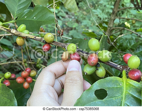 Coffee tree with ripe berries on farm, shallow Depth of Field - csp75385068