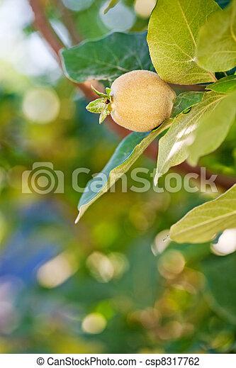 coing arbre fruitier jeune naturel jardin printemps photo de stock rechercher images. Black Bedroom Furniture Sets. Home Design Ideas