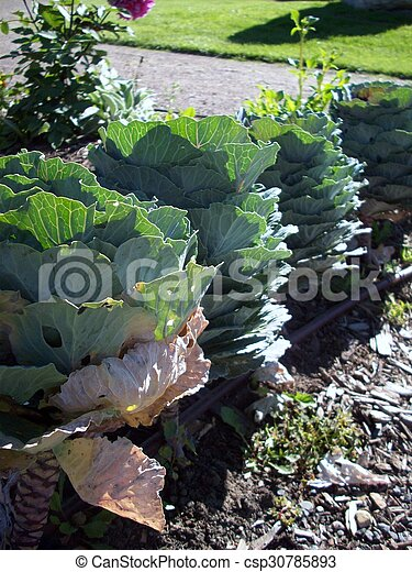 Kale - csp30785893