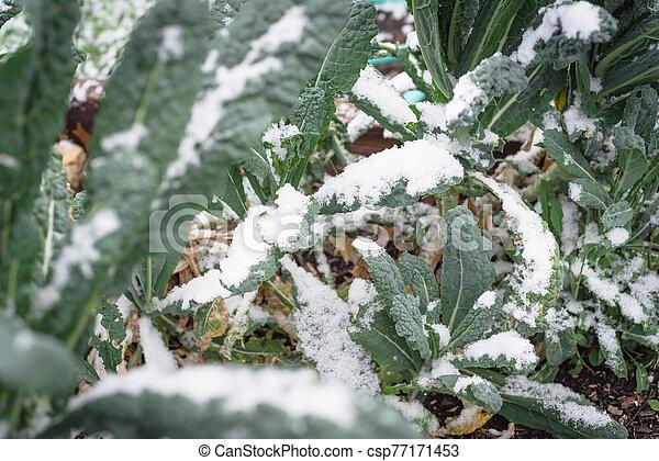 col rizada, nieve cubrió, tejas, (or, dallas, verde, lacinato, nero), frondoso, superficial, cavolo, dof, oscuridad - csp77171453