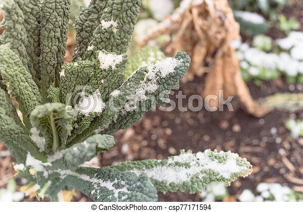 col rizada, nieve cubrió, tejas, (or, dallas, verde, lacinato, nero), frondoso, superficial, cavolo, dof, oscuridad - csp77171594