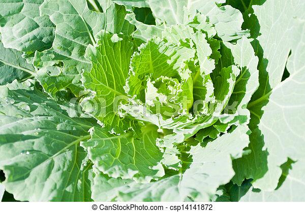 Kale - csp14141872