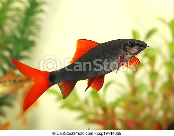 Hermoso pez acuario Red Tail Shark (Labeo bicolor) - csp19444869
