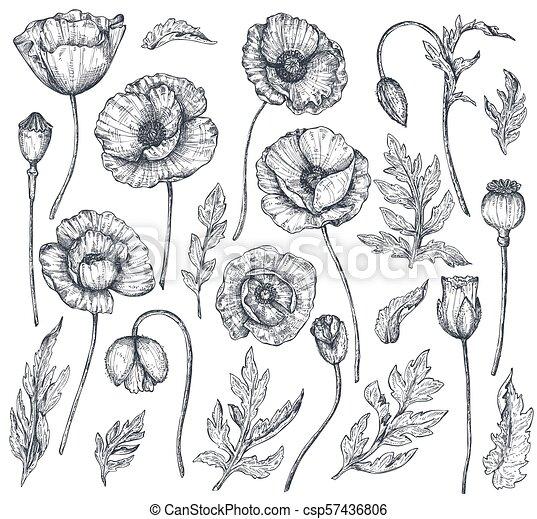 Colección de vectores de flores de amapola dibujadas a mano ...