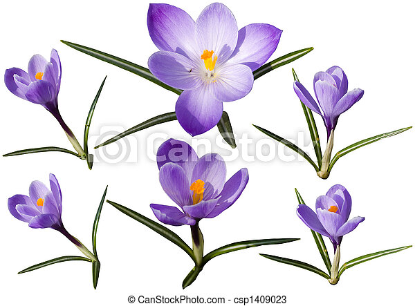 Colection of crocus flowers - csp1409023