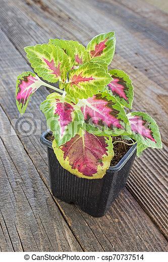Coleus plant in pot on wooden background - csp70737514