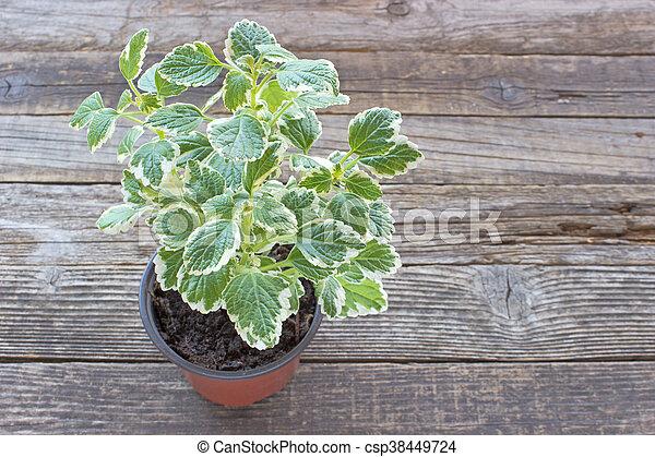 Coleus plant in pot on wooden background - csp38449724