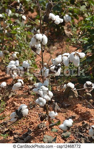 colheita, algodão - csp12468772