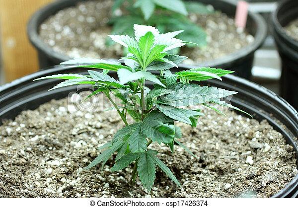colheita, marijuana - csp17426374