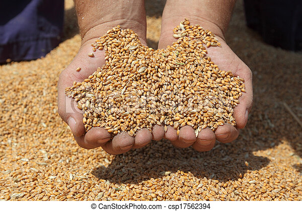 colheita trigo, agricultura - csp17562394
