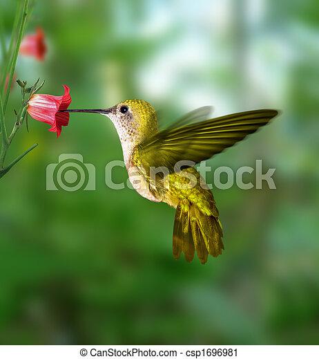 colibrí - csp1696981