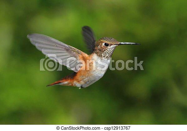 colibrí, rufous, rufus), (selasphorus - csp12913767